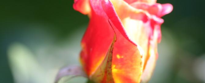 Rose zum Muttertag